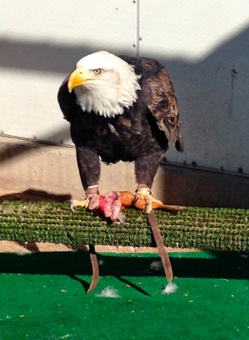 NMWC resident bald eagle, Maxwell, enjoying a lead-free fish