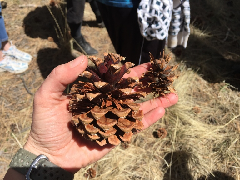 Pinecones from a ponderosa pine and a Douglas fir.