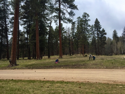 Teachers measure the shadow of a giant Ponderosa Pine.