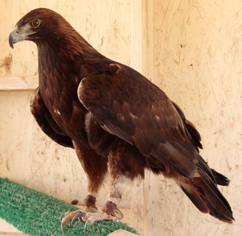 Moreno, our Golden Eagle